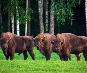 bison, belarus, and travel image