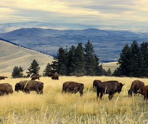 systemic racism, resident bison, and kootenai tribe image