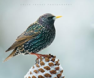 European Starling. By Colin Franks