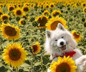 puppy, dog, and sunflower image