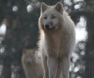 Stunning White Wolf