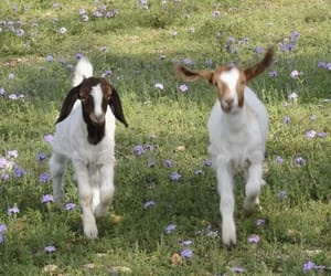 aesthetic, goat, and animal image