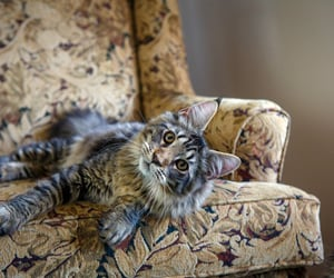 Pretty Mainecoon Cat