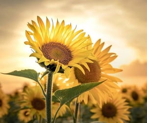 sunflowers and flowers image