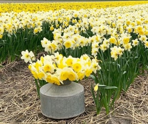 april, daffodils, and field image