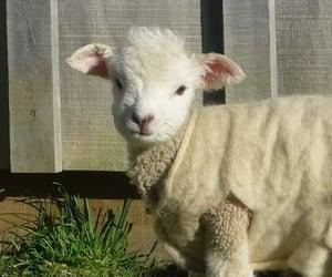 animals, farm, and lamb image