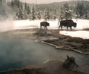 1998, wyoming, and american bison image
