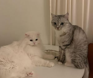cat cats, fluffy, and lovely image