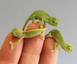 animal, chameleon, and green image