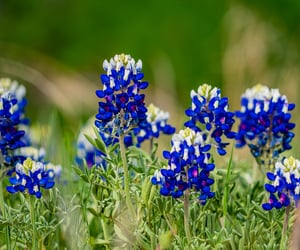 flower, Texas, and close up photography image
