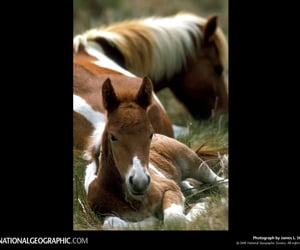 1975, maryland or virginia, and assateague ponies image