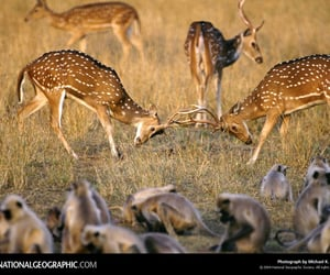 india, 1996, and axis deer image