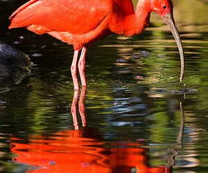 south africa, reflection, and scarlet ibis image