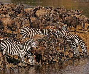 Kenya, wildebeest, and water is life image