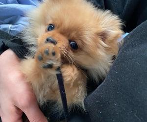 dog, paws, and pomeranian image