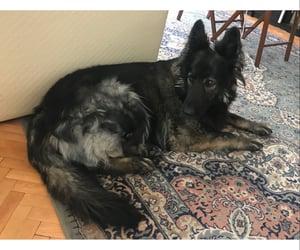 dog, german shepherd, and pet image