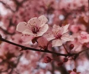 cherry blossom, flower, and flor image