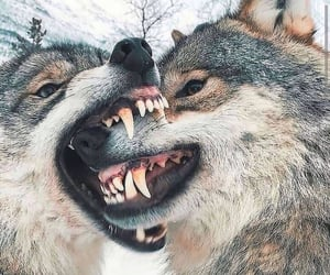 wolf and wolves image