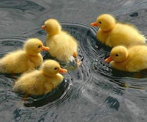ducks, lovely, and cute image
