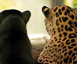 leopar and wild life image