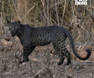 animal, black, and leopard image