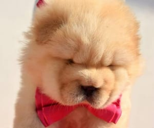 chow chow for sale image