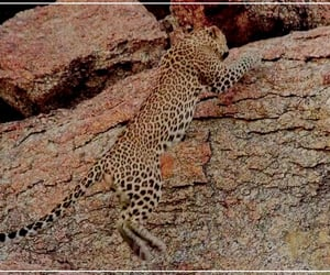 nature, jawai, and leopard image