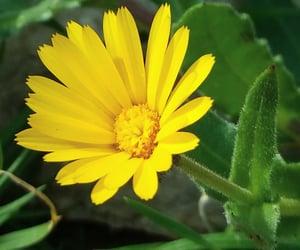 photo, yellow flower, and meralmeri image