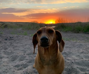 dachshund, doxie, and sunset image