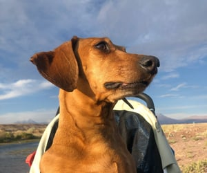 chile, doxie, and doglover image