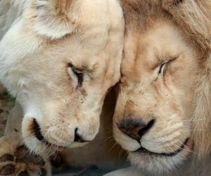 lion, animal, and beige image