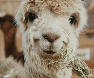 alpaca, animals, and smile image