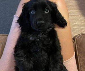 cocker spaniel, puppy, and cute image