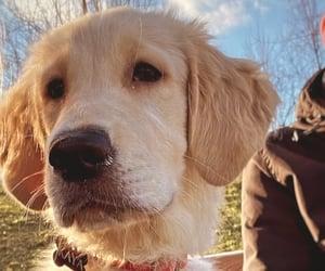 dog, everything, and golden image