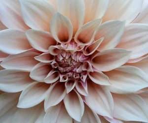 dahlia and flowers image