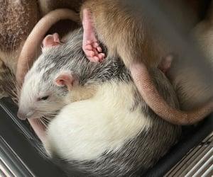animal, pet, and rat image