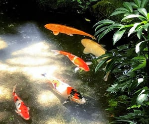 fish, koi, and plant image