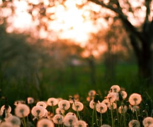 dandelions, flowers, and nature image