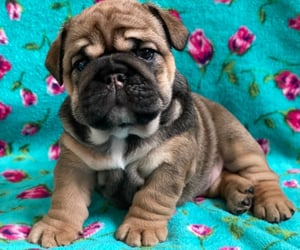 pets, animals, and bulldogs image