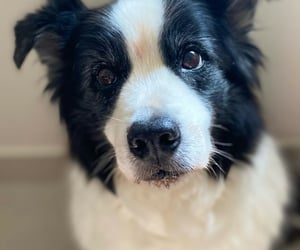 animals, collie, and dogs image
