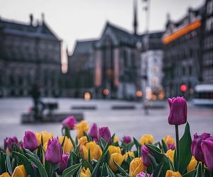 amsterdam, nature, and tulips image