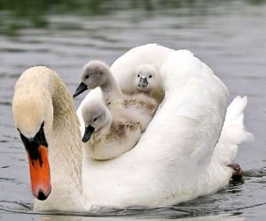 animals, birds, and swans image