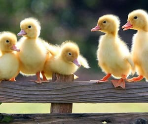 animals, babies, and duckling image