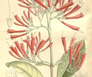 botany, pictorial works, and artist:viaf=48272868 image
