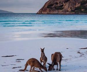 australia, kangaroo, and beach image