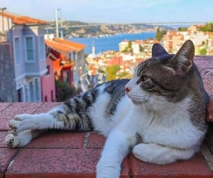 istanbul and istanbul cat image