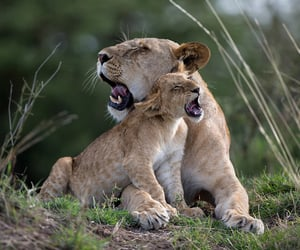 animals, baby, and lion image