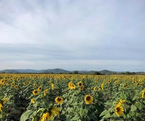 horizontal, girasoles, and sunflower image
