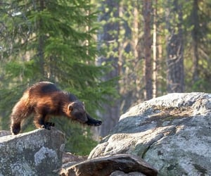 europe, wolverine, and mustelidae image
