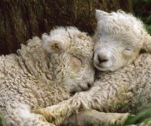 lamb, cute, and peace image